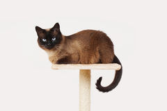 Siamese cat resting on platform Royalty Free Stock Image