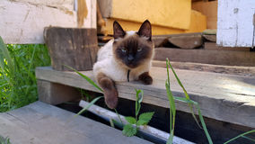 Siamese cat. Resting on the porch of rural house Royalty Free Stock Photography