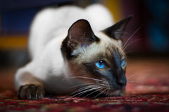 Siamese cat on rug Royalty Free Stock Image