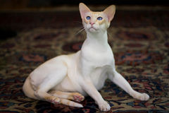 Siamese cat on rug about to get up. Siamese cat on rug standing up Royalty Free Stock Photography