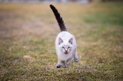 Siamese Cat running full speed ahead, front view, blue eyes, open mouth, grass background Royalty Free Stock Photo