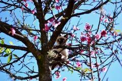 Siamese cat in Sakura Okinawa. Siamese cat with blue eyes on the cherry tree called Sakura Okinawa Royalty Free Stock Photography