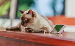 Siamese cat or seal brown cat with grey eyes, lying beside smart Stock Photography