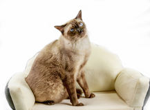 Siamese cat or seal brown cat with grey eyes, resting on bed. royalty free stock images