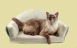 Siamese cat or seal brown cat with grey eyes, resting on bed. royalty free stock photos