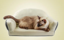 Siamese cat or seal brown cat with grey eyes, resting on bed. stock photos