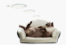 Siamese cat or seal brown cat with grey eyes, resting on bed. Siamese cat or seal brown cat with grey eyes, lying on a bed, dreaming about food stock image