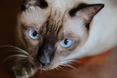 Siamese cat or seal brown cat with grey eyes, resting on a carpet floor. stock images