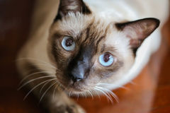 Siamese cat or seal brown cat with grey eyes,. Resting on a carpet floor royalty free stock image