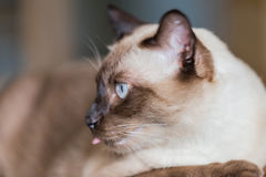 Siamese cat or seal brown cat with grey eyes, resting on a sofa. Bed royalty free stock photography