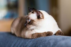 Siamese cat or seal brown cat with grey eyes, resting on a sofa. Bed royalty free stock image
