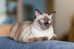 Siamese cat or seal brown cat with grey eyes, resting on a sofa. Bed stock photo