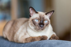 Siamese cat or seal brown cat with grey eyes, resting on a sofa. Bed royalty free stock images