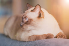 Siamese cat or seal brown cat with grey eyes, resting on a sofa. Bed stock image
