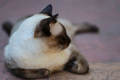 A Siamese Cat, seal brown cat Stock Image
