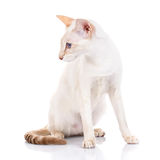 Siamese cat siting on white background, looks to the side Royalty Free Stock Photos
