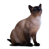 Siamese cat. Sitting adult Siamese cat. Isolated over white background Royalty Free Stock Image