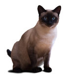 Siamese cat. Sitting adult Siamese cat. Isolated on white background Stock Photography