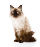 Siamese cat sitting in front.  on white background Royalty Free Stock Photos