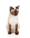 Siamese cat sitting in front.  on white background Stock Photo