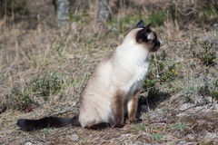 Siamese cat sitting on grey grass Royalty Free Stock Photography