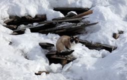 Siamese cat sitting on old broken boards among snow. stock photography