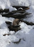 Siamese cat sitting on old broken boards among snow royalty free stock photo