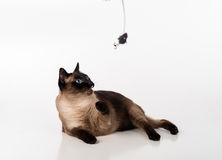 Siamese Cat Sitting op het witte bureau en omhoog het kijken Muis als Stuk speelgoed en Klaar aan te vallen Witte achtergrond Stock Foto