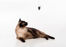 Siamese Cat Sitting op het witte bureau en omhoog het kijken Muis als Stuk speelgoed Witte achtergrond Royalty-vrije Stock Afbeelding