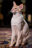 Siamese cat sitting on a rug looking up Royalty Free Stock Images