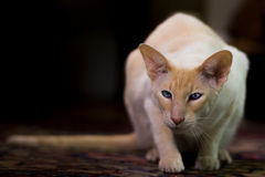 Siamese cat sitting on rug Stock Photos