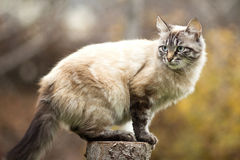Siamese cat sitting on a tree stump Stock Photo