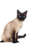 Siamese cat sitting Royalty Free Stock Photo