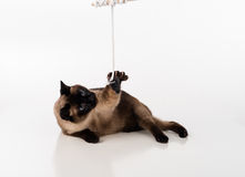 Siamese Cat Sitting on the white desk and looking up. Catch Mouse as a Toy. White background Stock Photo