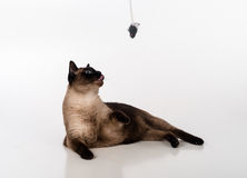 Siamese Cat Sitting on the white desk and looking up. Mouse as a Toy. White background Stock Photos