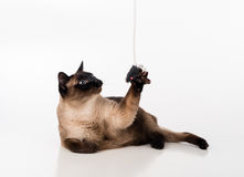 Siamese Cat Sitting on the white desk and looking up. Mouse as a Toy. White background Royalty Free Stock Photo