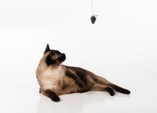 Siamese Cat Sitting on the white desk and looking up. Mouse as a Toy. White background Royalty Free Stock Image