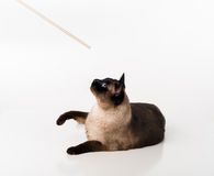 Siamese Cat Sitting on the white desk and looking up to Wooden Stick. White background Stock Photos