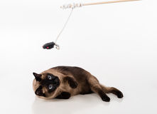 Siamese Cat Sitting on the white desk and looking up. Wooden Stick and Mouse as a Toy. White background Stock Photos