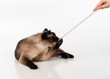 Siamese Cat Sitting on the white desk and Playing with Woman Hand and Wooden Stick. White background Stock Images