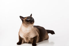Siamese Cat Sitting on the white desk. White background. Looking Up. Stock Images
