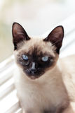 Siamese cat sitting in window sunlight looking intently. Siamese cat with blue eyes sitting in windowsill staring Stock Photo