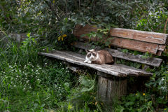 Siamese cat sitting on a wooden bench Royalty Free Stock Photos
