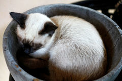 Siamese cat sleeping in basket Stock Images
