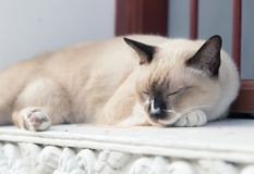 Siamese Cat sleeping outside Thai temple in Bangkok. Siamese Cat sleeping on a concrete building near the window outside Thai temple in Bangkok Stock Photography