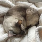 Siamese cat sleeping. Siamese cat curled up on a cream blanket sleeping peacefully stock photo
