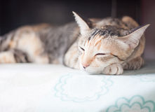 Siamese cat sleeping on the table Stock Photo