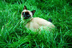 Siamese. Cat sneaking in the grass Royalty Free Stock Image