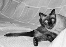 Siamese cat Sofa. Siamese cat lying on sofa, pet at home stock images