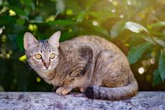 Siamese cat squinting at people. Siamese cat in garden squinting at people Stock Photo